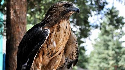 Hawk 4k Wallpapers Hawks Birds Bird Falcon