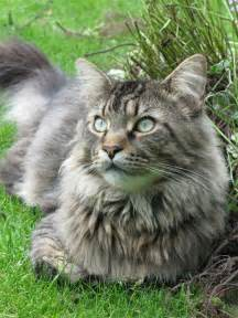 maincoon cats cat picture and information
