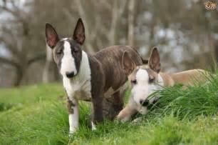 Dog Breeds Terrier Group