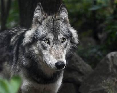 Wolf Gray Population Biden Species Endangered Protections