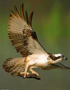 Osprey swoops down on to a river to catch his prey in set ...