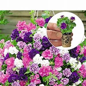 Hängepflanzen Für Balkonkästen : easyplant jungpflanzen online kaufen bestellen bei ~ Michelbontemps.com Haus und Dekorationen