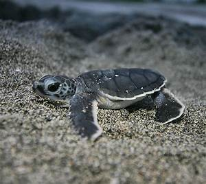 Baby Turtles Cute images