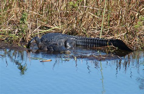 Airboat Adventures At Boggy Creek by Top 5 Activities At Boggy Creek
