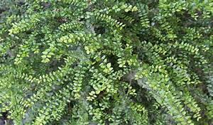Arbuste Persistant Croissance Rapide : arbustes couvre sol et tapissants ~ Premium-room.com Idées de Décoration