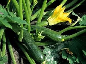 Kräuter Im Garten : zucchini anbauen beliebtes gem se aus dem eigenen garten gem segarten und kr uter garten ~ Frokenaadalensverden.com Haus und Dekorationen