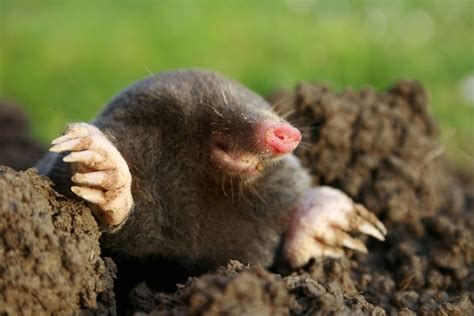 how to kill a mole how to get rid of moles in yard