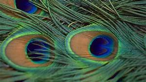 Peacock Feather Wallpapers – Peacock Feather HD Pictures ...