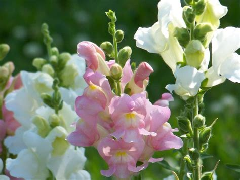 I Fiori Poesie Più by Garden Snapdragon Flower Lisianthus Snapdragons And