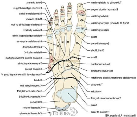 Anatomy Of Joints In Foot Lifeinharmony