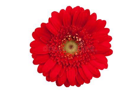 fiore rosso grande fiore rosso con i petali gerbera arancione