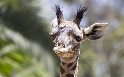 Giraffe Wallpapers Animal Background Alphacoders