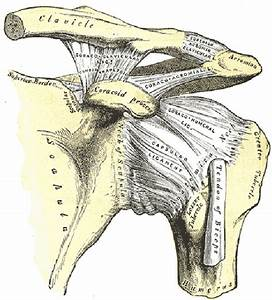 Shoulder Anatomy Function: bones, ligaments, cartilage ...
