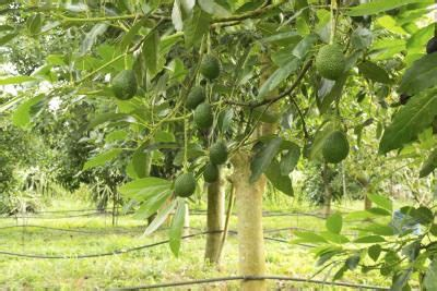 avocado tree zones with pictures ehow