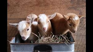 A Buckload Of Cute Baby Goats
