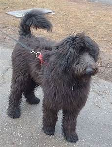 Shepadoodle Dog Breed Information and Pictures
