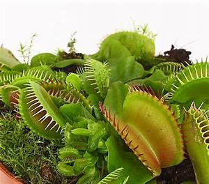 Fleischfressende Pflanze Pflege : karnivoren pflanzen set dehner ~ A.2002-acura-tl-radio.info Haus und Dekorationen