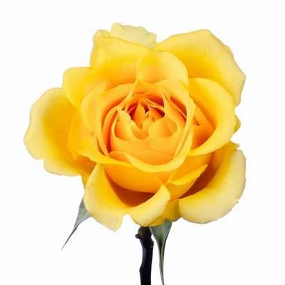 Yellow Roses Rose Gold Strike Clipart Cream