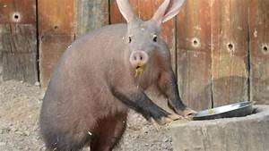 10 Things You Didn't Know About African Aardvarks | AFKTravel
