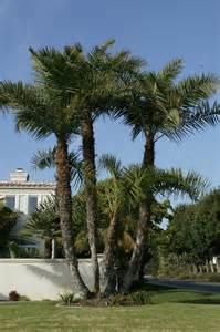 Phoenix Palm Trees Types