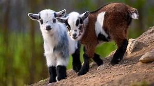 Cute Overload  Dwarf Goats Track Hidden Objects