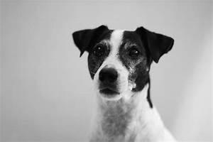 MASHIRA: Black & White Jack Russell in Black & White