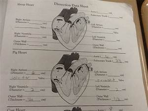 Heart Dissection  U2013 Anatomy And Physiology