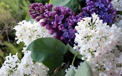 Lilac Spring Flowers Background Close Flowering Blurry