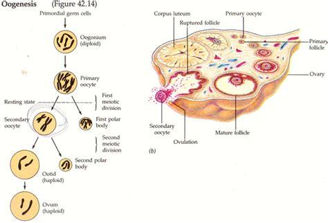 Gambar Kandungan Wanita Oogenesis Human 39 S Development