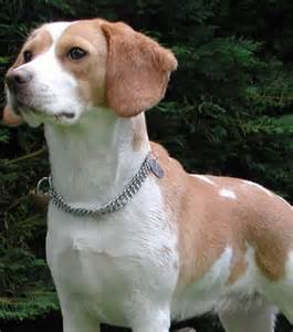 Small Dog Breeds Beagle