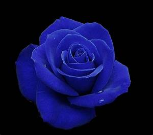 The gallery for --> Sky Blue Rose Flower Wallpaper