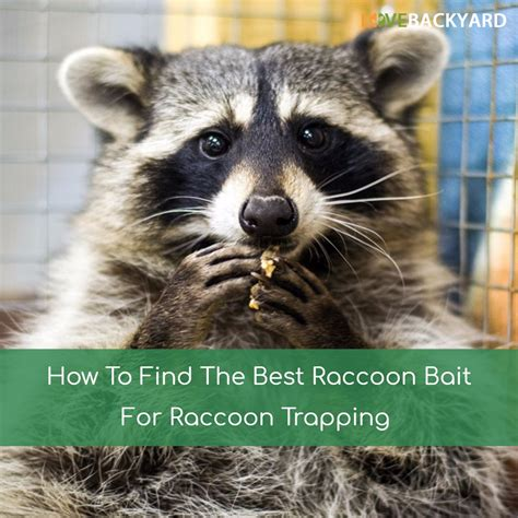 How To Catch A Raccoon In My Backyard by How To Get Rid Of Raccoons In Backyard The 5 Best Raccoon