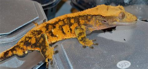 crested gecko care chicago exotics animal hospital
