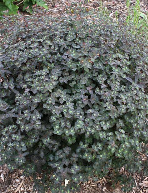 purple spurge the best purple leafed euphorbia