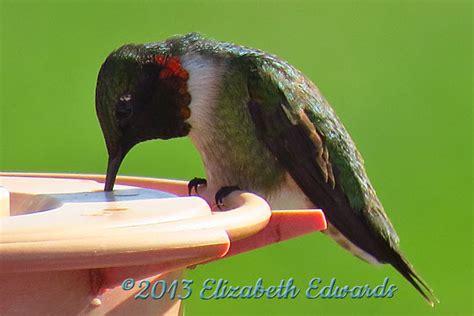 ruby throated hummingbirds are back hooray e liz