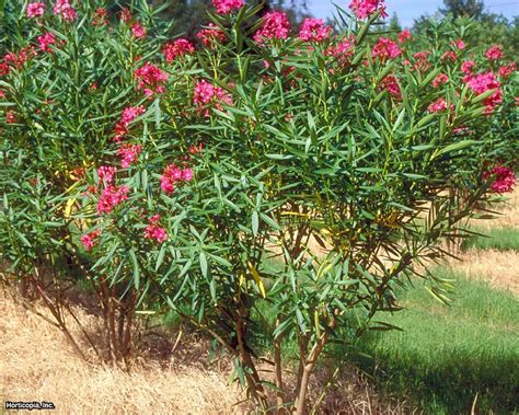bushes shrubs oleander is a beautiful but also toxic shrub hgtv
