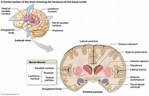 Septal nuclei; Bed Nucleus of Stria Terminalis; Nucleus of ...
