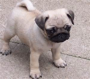 Pictures of Pug Dog Breed