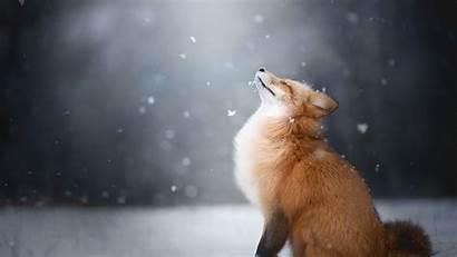 Fox Winter Furry Animal Happiness Desktop Background