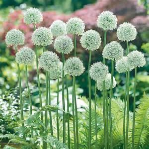 white gift bags allium mount everest longfield gardens
