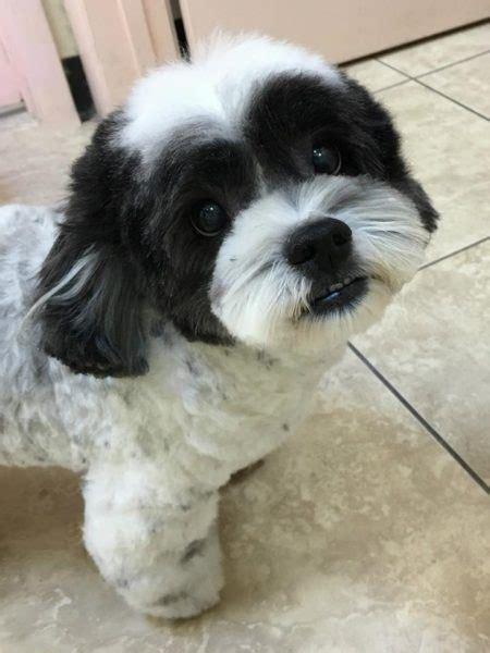havanese hairstyle options certified pet grooming  tampa