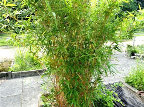 plantation bambou en pot bambou semiarundinaria plantation culture et entretien