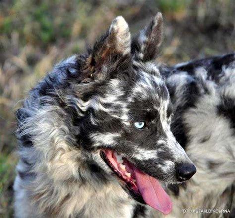unusual dog breeds  markings    fall  love