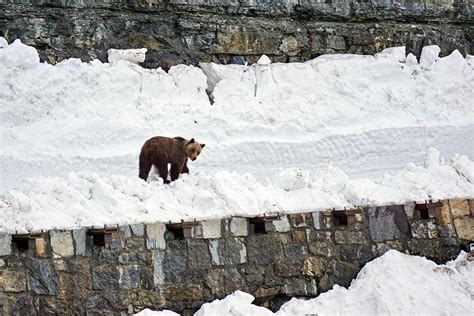 A grizzly bear on Going-to-the-Sun Road. Photo courtesy ...