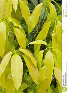 Leaves of the mango stock photo. Image of beauty, fresh ...