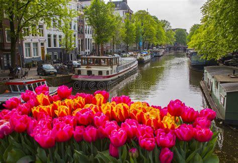 amsterdamse bloemen tulpen bl 252 ht tulpen in amsterdam redaktionelles stockfotografie