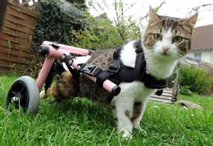 cat wheelchair wheelchair bound cat in germany adopts abandoned kittens