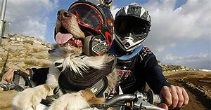 Canine cruiser: Opee the dog enjoys 150mph motorbike rides ...