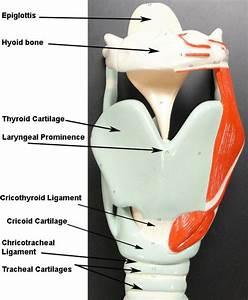 larynx model - Google Search | Anatomy and Physiology Lab ...