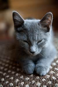 russian blue cat pictures russian blue cat russian blue kitten carty